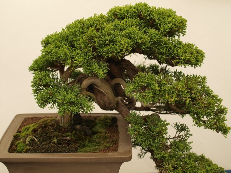 bonsai gestaltungsschnitt