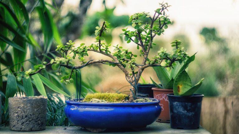 bonsai blattschnitt