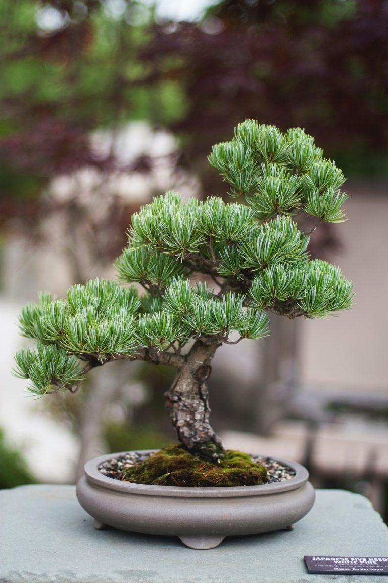 bonsai schalengröße